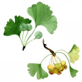 Green ginkgo biloba with leaves isolated on white. Watercolour ginkgo biloba drawing isolated illustration element.