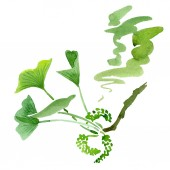 Fotografie Green ginkgo biloba with leaves isolated on white. Watercolour ginkgo biloba drawing isolated illustration element.