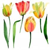 Krásné žluté tulipány se zelenými listy izolované na bílém. Ilustrace akvarel zázemí. Izolované Tulipán květy ilustrace prvek