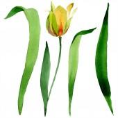 Krásný žlutý Tulipán se zelenými listy izolované na bílém. Ilustrace akvarel zázemí. Izolované Tulipán květ ilustrace prvek