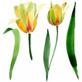 Sárga tulipánok elszigetelt fehér, zöld levelekkel. Akvarell háttér illusztráció. Elszigetelt tulipán virágok ábra elem