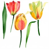 Fotografie Beautiful yellow tulips with green leaves isolated on white. Watercolor background illustration. Isolated tulip flowers illustration element.