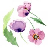 Gyönyörű bordó pipacs virágok elszigetelt fehér. Akvarell háttér illusztráció. Akvarell, rajz, divat aquarelle elszigetelt Pipacsok ábra elem