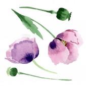 Krásné vínové makové květy izolované na bílém. Ilustrace akvarel zázemí. Akvarel, kresba módní aquarelle izolované mák ilustrace prvek.