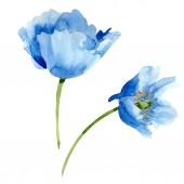 Fotografie Beautiful blue poppy flowers isolated on white. Watercolor background illustration. Watercolour drawing fashion aquarelle isolated poppy flowers illustration element.