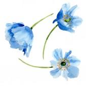 Gyönyörű kék pipacs virágok elszigetelt fehér. Akvarell háttér illusztráció. Akvarell, rajz, divat aquarelle elszigetelt pipacs virágok ábra elem.