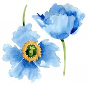 Beautiful blue poppy flowers isolated on white. Watercolor background illustration. Watercolour drawing fashion aquarelle isolated poppy flowers illustration element.