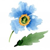 Fotografie Beautiful blue poppy flower isolated on white. Watercolor background illustration. Watercolour drawing fashion aquarelle isolated poppy illustration element.