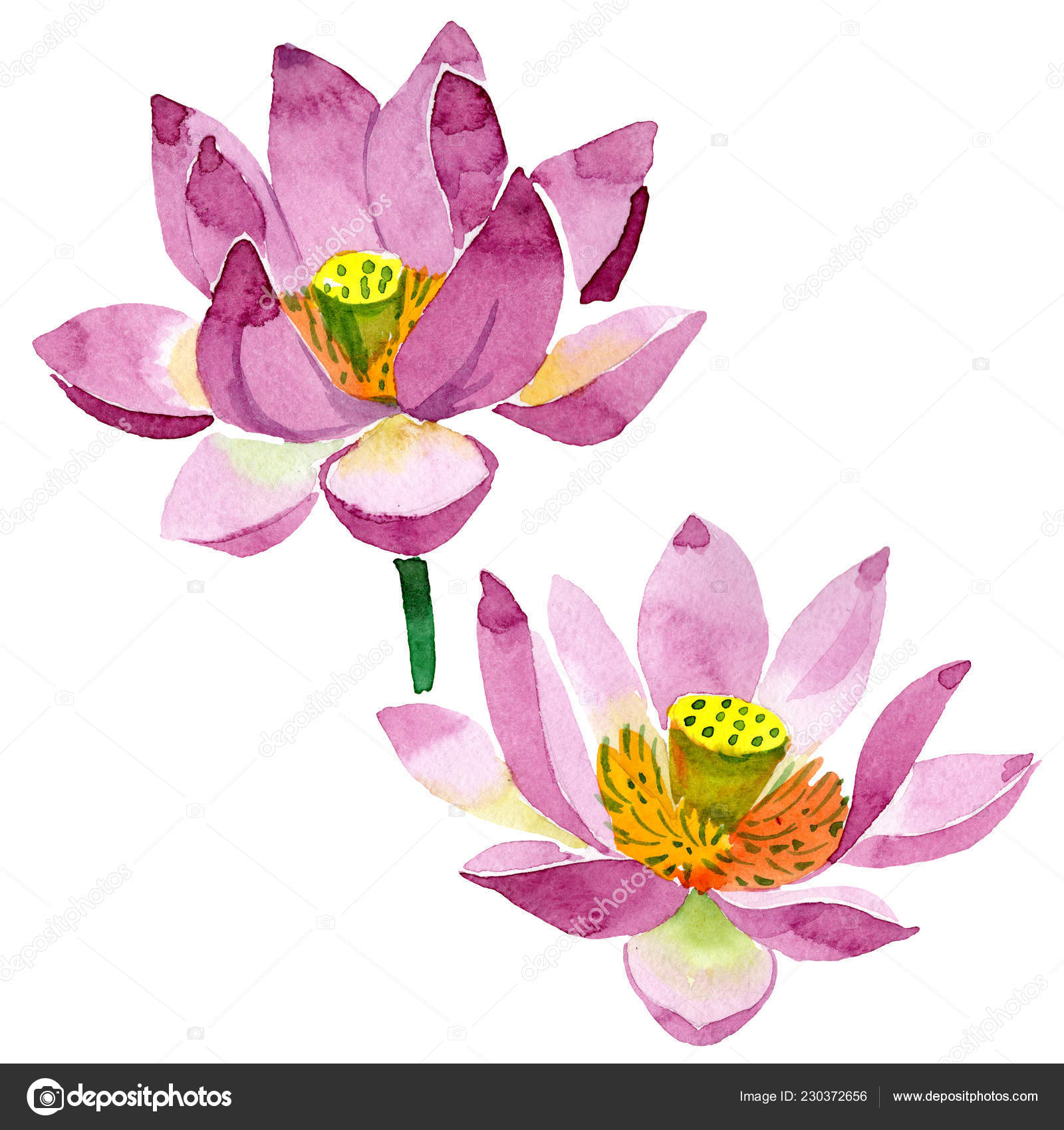 Beautiful Purple Lotus Flowers Isolated White Watercolor Background