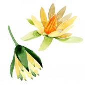 Fotografie Žluté lotosové květy izolované na bílém. Ilustrace akvarel zázemí. Akvarel, kresba módní aquarelle izolované lotus květiny ilustrace element
