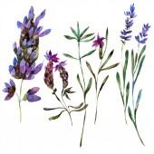 Krásné fialové květy levandule izolované na bílém. Ilustrace akvarel zázemí. Akvarel, kresba módní aquarelle izolované levandule ilustrace prvek