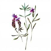 Gyönyörű lila levendula virágok elszigetelt fehér. Akvarell háttér illusztráció. Akvarell, rajz, divat aquarelle elszigetelt lavenders ábra elem