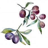 Fotografie Olives on branches with green leaves. Botanical garden floral foliage. Isolated olives illustration element. Watercolor background illustration.