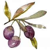 Olives on branch with green leaves. Botanical garden floral foliage. Watercolor background illustration. Watercolour drawing fashion aquarelle isolated on white background.