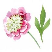 Krásný růžový Pivoňka květ izolovaných na bílém pozadí. Akvarel výkresu módní aquarelle. Izolované Pivoňka květ ilustrace prvek