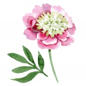 Beautiful pink peony flower isolated on white background. Watercolour drawing fashion aquarelle. Isolated peony flower illustration element.