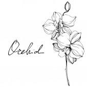Gyönyörű fekete-fehér orchidea virágok vésett tinta art. Elszigetelt orchideák ábra elem fehér háttér