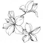 Fotografie Krásné černé a bílé květy orchidejí vyryto inkoust umění. Prvek ilustrace izolované orchideje na bílém pozadí
