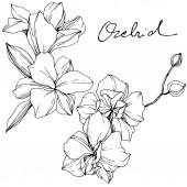 Gyönyörű orchideák. Fekete-fehér vésett tinta art. Elszigetelt orchideák ábra elem fehér háttér.