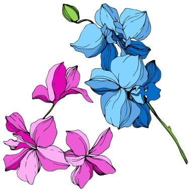 Beautiful blue and pink orchid flowers engraved ink art. Isolated orchids illustration element on white background. clip art vector