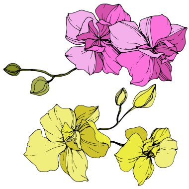 Beautiful pink and yellow orchid flowers. Engraved ink art. Orchids illustration element on white background. clip art vector