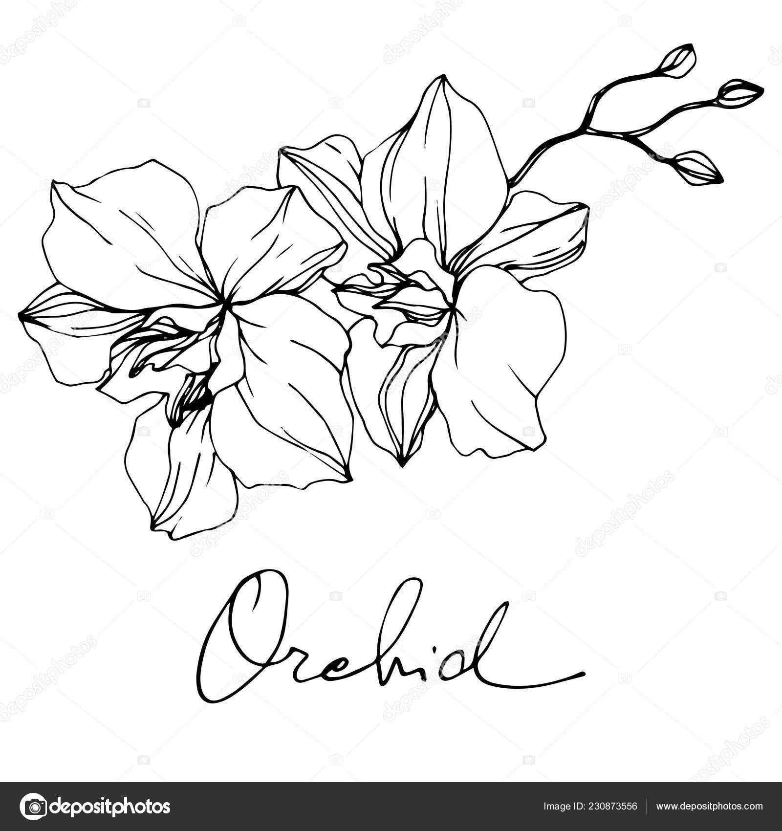 sch ne orchidee bl ht schwarz wei graviert tinte kunst isolierte orchideen stockvektor. Black Bedroom Furniture Sets. Home Design Ideas