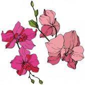 Krásné růžové květy orchidejí. Ryté inkoust umění. Prvek obrázku orchideje na bílém pozadí