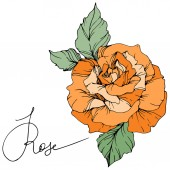 Fotografie Beautiful orange rose flower with green leaves isolated on white background. Engraved ink art.