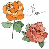 Vektor. Narancs- és korall rózsák elszigetelt fehér background, zöld levelekkel. Vésett tinta art.