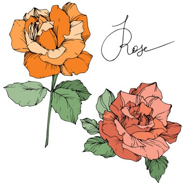 Vector. Orange and coral roses with green leaves isolated on white background. Engraved ink art. stock vector