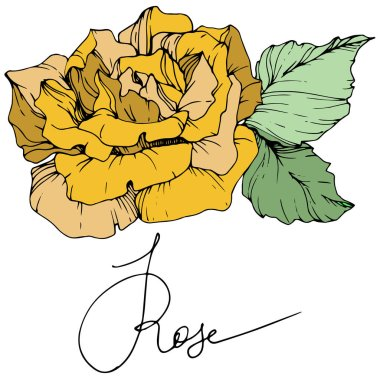 Beautiful yellow rose flower with green leaves. Isolated rose illustration element. Engraved ink art. clip art vector