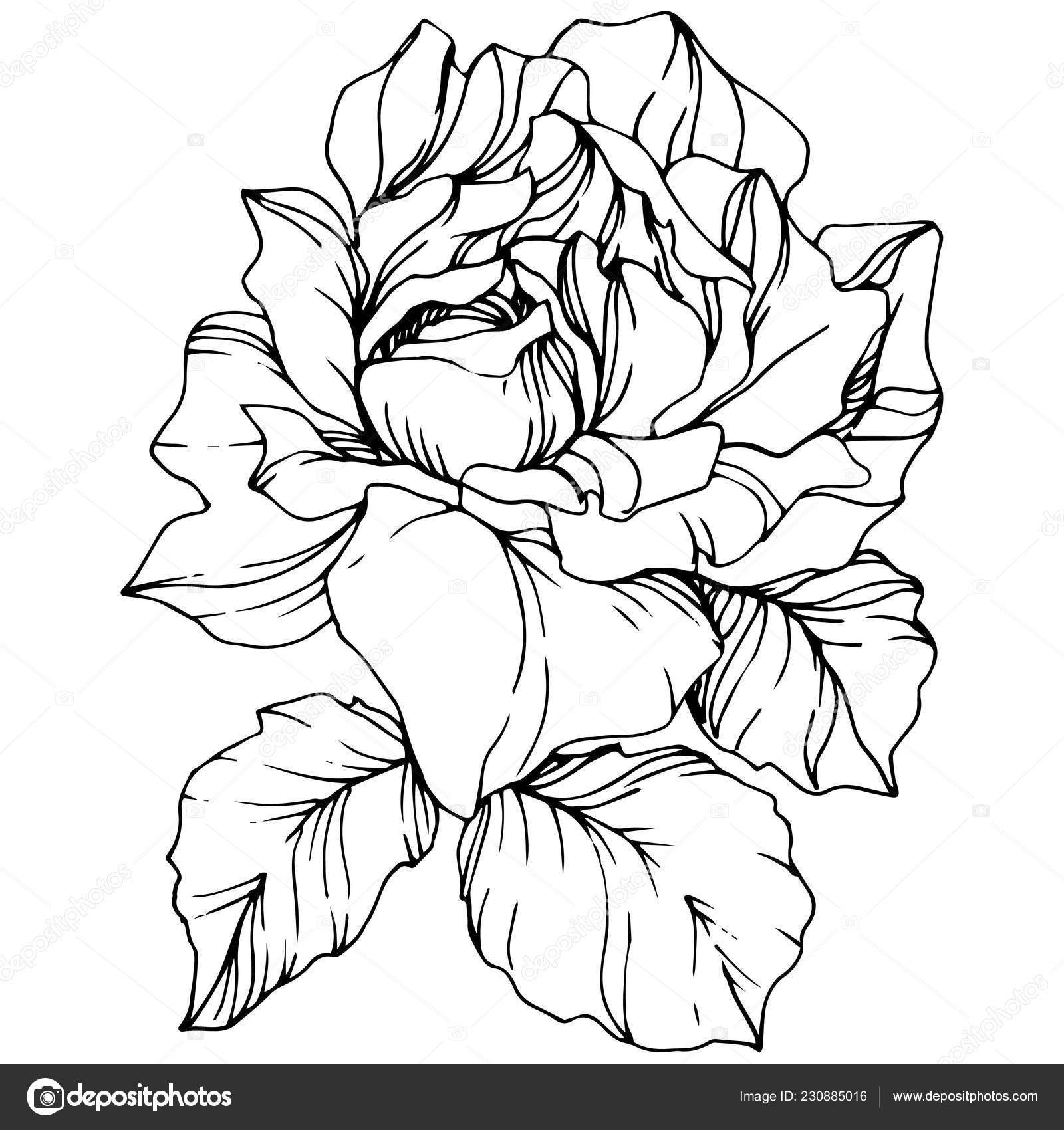Vector Rose Flower Isolated Illustration Element White Background