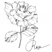 Photo Beautiful vector rose flower isolated on white background. Black and white engraved ink art.