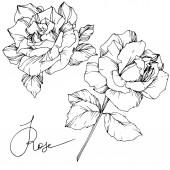 Fotografie Schöne Vektor rose Blumen isoliert auf weißem Hintergrund. Schwarz / weiß graviert Tinte Kunst