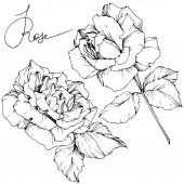 Krásné vektor růže květiny izolovaných na bílém pozadí. Černá a bílá vyryto inkoust umění