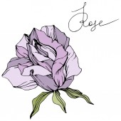 Vector. Beautiful purple rose flower with green leaves isolated on white background. Engraved ink art.