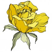 Fotografie Beautiful yellow rose flower with green leaves. Isolated rose illustration element. Engraved ink art.
