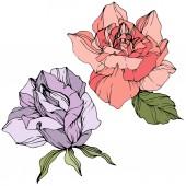 Vektor. Fialové a růžové květy růže se zelenými listy izolované na bílém pozadí. Ryté inkoust umění.