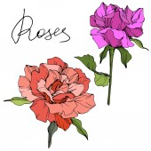 Fotografie Vector. Purple and coral rose flowers with green leaves isolated on white background. Engraved ink art.