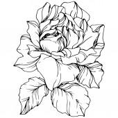 Vektor. Růže květ izolované ilustrace prvek na bílém pozadí. Černá a bílá vyryto inkoust umění
