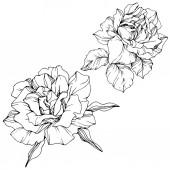 Vektor. Květy růže izolované ilustrace prvek na bílém pozadí. Černá a bílá vyryto inkoust umění