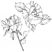 Fotografie Vector. Rose flowers isolated illustration element on white background. Black and white engraved ink art