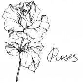 Vektor. Rózsa virág elszigetelt ábra elem fehér háttér. Fekete-fehér gravírozott art festék