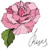 Krásné růžové růže květ izolované na bílém. Růže obrázek prvek. Ryté inkoust umění