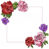 Vector. Rose flowers floral square on white background. Red, purple and pink roses engraved ink art.