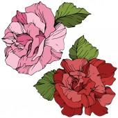 Fotografie Vector. Pink and red rose flowers with green leaves isolated on white background. Engraved ink art.
