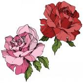 Vektor. Růžové a červené květy růže se zelenými listy izolované na bílém pozadí. Ryté inkoust umění.