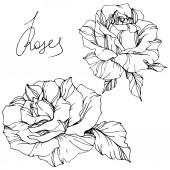 schöne Vektorrosenblüten isoliert auf weißem Hintergrund. Schwarz-weiß gravierte Tuschekunst.