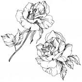 Gyönyörű vektor Rózsa virágok elszigetelt fehér background. Fekete-fehér gravírozott art festék.