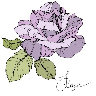 Vector. Beautiful purple rose flower with green leaves isolated on white background. Engraved ink art. stock vector